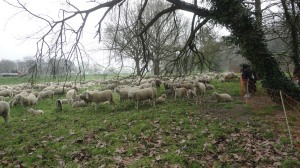 foto_31mar2016_5-pecore-a-ferrara-free